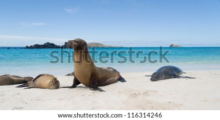 Galapagos sea lion (Zalophus californianus wollebacki) basking on the beach, Gardner Bay, Espanola Island, Galapagos Islands, Ecuador
