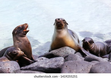 Galapagos sea lions lying on rocks at Suarez Point, Espanola Island, Galapagos National park, Ecuador. These sea lions exclusively breed in the Galapagos.