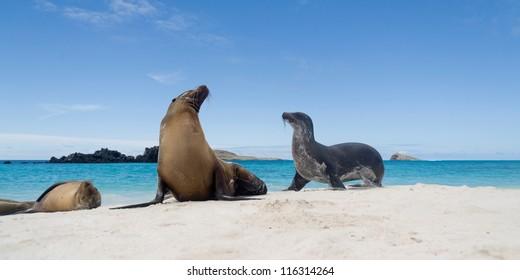 Galapagos sea lions (Zalophus californianus wollebacki) on the beach, Galapagos Islands, Ecuador