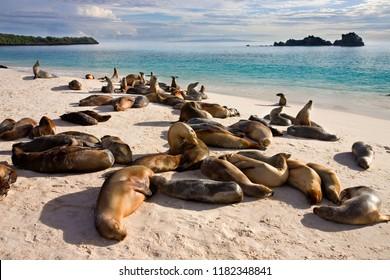 Galapagos Sea Lions (Zalophus wollebaeki). The colony at Gardner Bay on Espanola in the Galapagos Islands, Ecuador.
