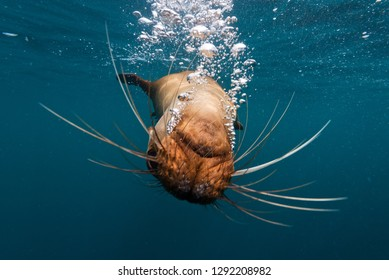 A Galapagos sealion blows bubbles In the waters around the Galapagos