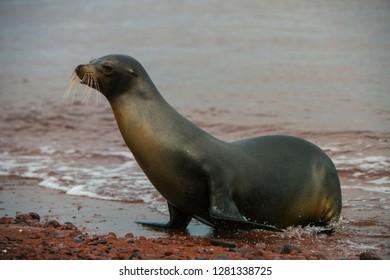 Galapagos Sealion (Zalophus wollebaeki)  GALAPAGOS, ECUADOR. South America