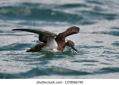 Galapagos Shearwater (Puffinus subalaris) on the Galapagos islands. Endemic breeder to the archipelago. Foraging at sea.