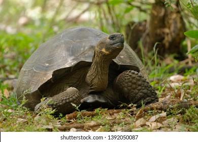 Galapagos Tortoise (Chelonoidis nigra) - Santa Cruz Island, Galapagos
