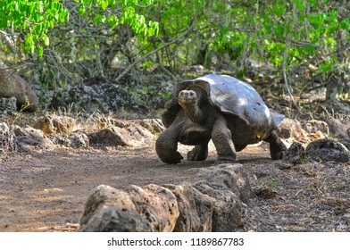 Galapagos Tortoise in a nature reserve in the Galapagos Islands, Ecuador