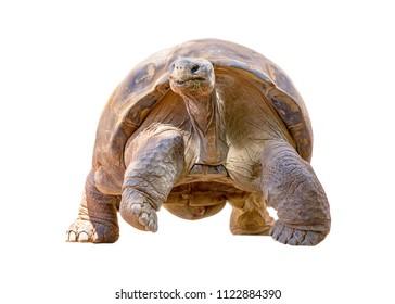 Galapagos Tortoise walking forward. Isolated on white