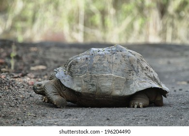 Galapagos Tortoises in Isabela island, Ecuador
