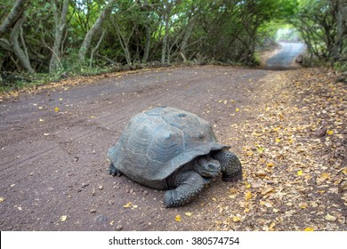 Galapagos turtle cross the road path leading through a forest on Isabela Island in the Galapagos Islands in Ecuador