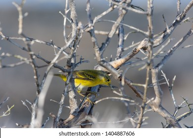 Galapagos Yellow Warbler (Dendroica petechia) searching for food in the Galapagos Islands, Ecuador.