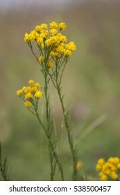 Galatella (Aster) linosyris, goldilocks aster macro