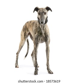 Galgo Espanol (2 years) in front of a white background