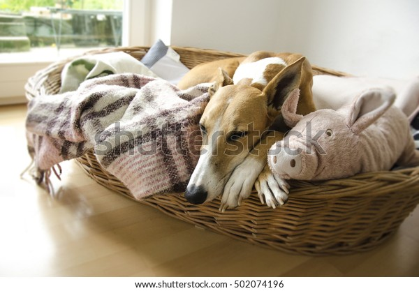 Galgo Espanol sleeping in a basket. Brown dog with stuffed animal and a checked blanket.