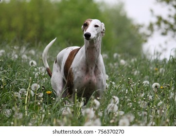 galgo is standing in a field of blowballs