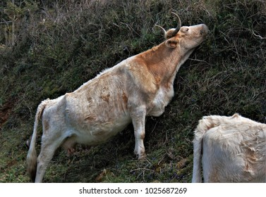 Galician cow producing meat grazing on a sloping slope of the road