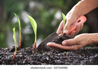 galingale planting