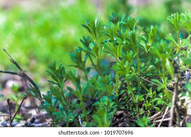 Galium aparine cleavers, clivers, goosegrass and grip grass close-up In the spring