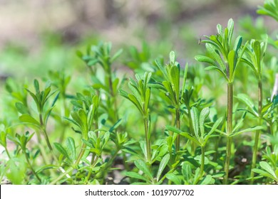 Galium aparine cleavers, clivers, goosegrass, catchweed and grip grass close-up In the spring