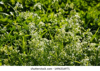 Galium aparine  cleavers white flowers with green