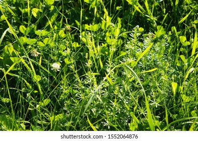 Galium aparine and clover bright grass