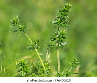 Galium species plant, bedstraw