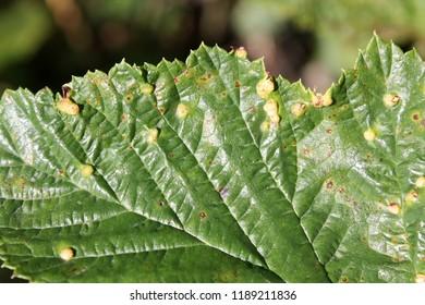 Gall of Dasineura ulmaria or Meadowsweet gall midge on leaf upper side of Filipendula ulmaria or Meadowsweet
