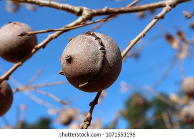 Gall oak, Quercus infectoria tree, Aleppo oak or Manjakani closeup on blue sky and branches background during winter