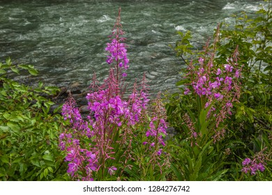 Gallatin River Montana, Fireweed on the riverbank