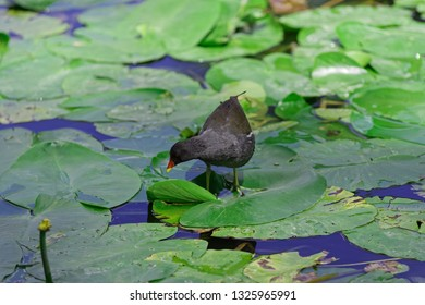 Gallinula Chloropus - common moorhen walking over the leaves of water lily and looking for a food. Photo was taken in 'Planten un Blomen' city garden in Hamburg, Germany