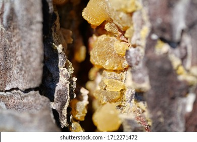 Gallipot - solidified pine resin, natural hard yellow resin of pine tree