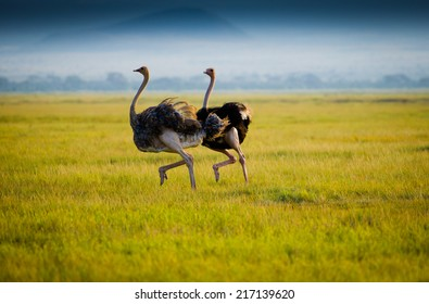 Gallop of african ostriches