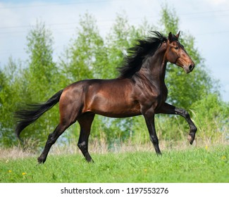 Galloping bay color andalusian stallion in summer field