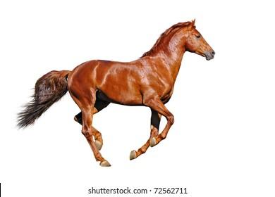 Galloping chestnut horses, isolated on white background
