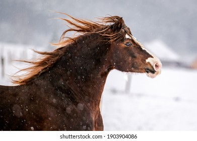 Galloping chestnut welsh pony cob stallion in snow. Stunning active horse with long mane full of power in winter.