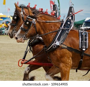 Galloping Clydesdale horses