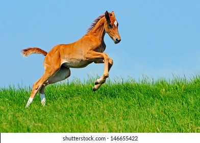 Galloping cute sorrel foal in summer field