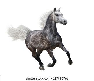Galloping dapple-grey arabian horse on white background