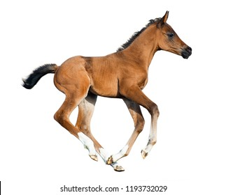 Galloping foal isolated on a white