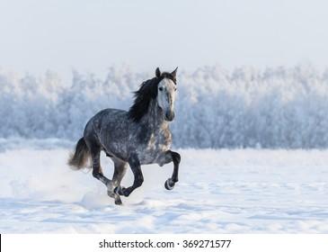 Galloping grey Purebred Spanish horse