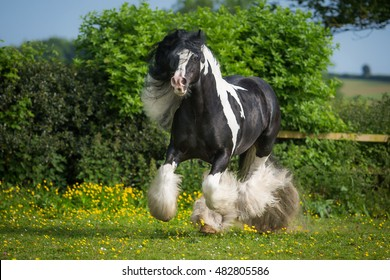 Galloping Gypsy stallion