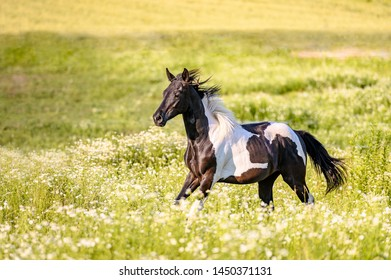 Galloping horse on summe pasture