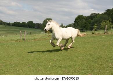 galloping horse, white galloping horse