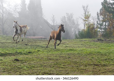 galloping horses in a meadow in Italy