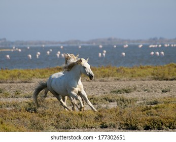 Galloping white horses with flamingos in the back in Parc Regional de Camargue, Provence, France - image has motion blur