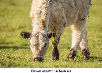 galloway cattle on the pasture