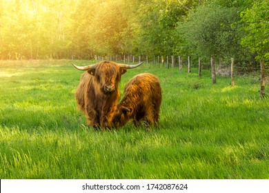 Galloway cattle on pasture in species-appropriate husbandry Organic meat