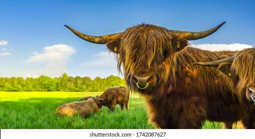 Galloway Rinder auf Weide in artgerechter Haltung Organisches Fleisch