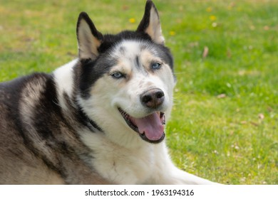 Galloway, NJ USA - April 25 2021: Picture of a Siberian Husky-Alaskan Malamute laying in the grass on a sunny day.