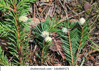 Galls of Adelges tardus on branches of Picea abies (European, spruce). July, Belarus