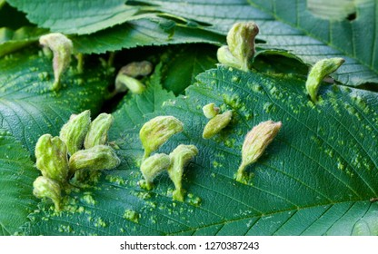 Galls on leaf of hop-hornbeam (Ironwood) Ostyra virginiana, caused by a tiny Eriophyes mite.