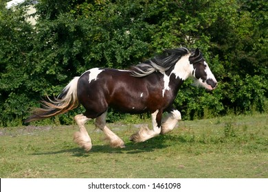 A galopping gypsy vanner in a green field